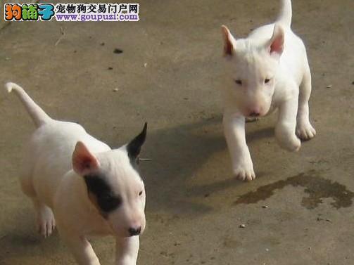 冠军级后代牛头梗,专业繁殖血统纯正,提供养狗指导