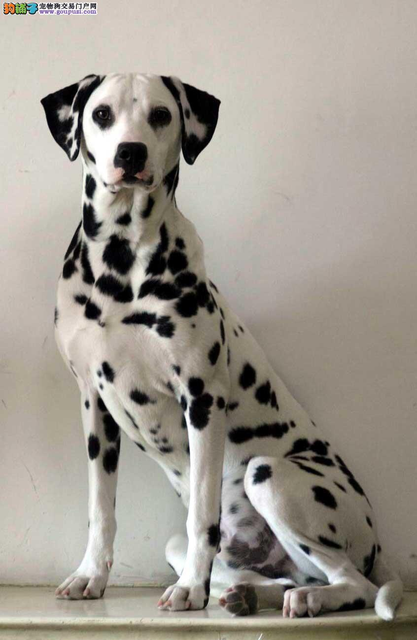 国际注册犬舍 出售极品赛级斑点狗幼犬加微信送用品