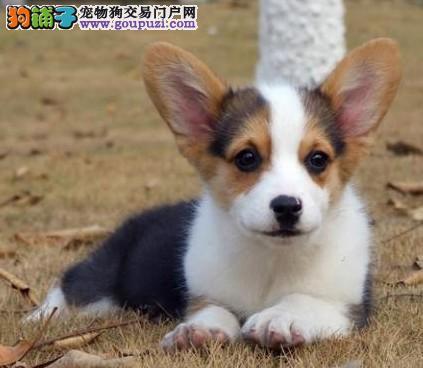 CKU认证犬舍 专业繁殖 柯基幼犬 购买有保证