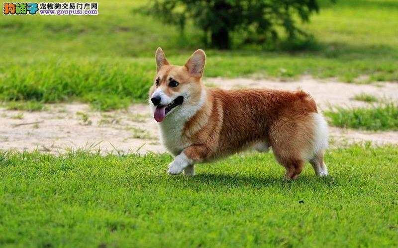CKU认证犬舍 专业繁殖 柯基幼犬 购买有保证。