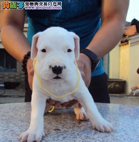 重庆自家养殖纯种杜高犬低价出售终身售后保障