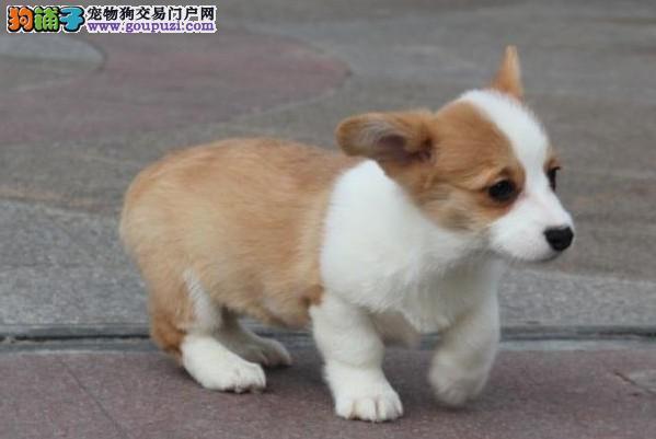 重庆犬舍低价热销 柯基血统纯正爱狗人士优先狗贩勿扰