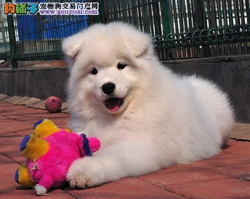 皇家萨摩耶雪橇犬 微笑天使萨摩耶幼犬火热出售中