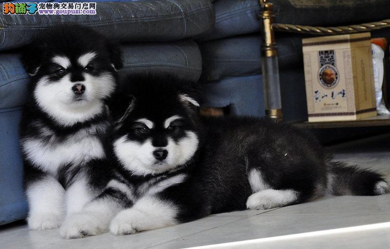 纯种阿拉斯加雪橇犬 高品质阿拉斯加幼犬待售 皇家犬舍