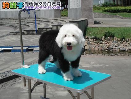 广州古代牧羊犬广州哪里有卖古牧广州古牧犬多少钱