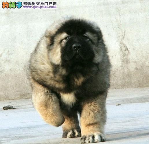北京皇家犬舍出售极品高加索 健康有保障 纯种血统