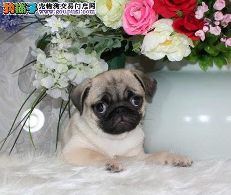 爱犬部落联盟常年出售巴哥宝宝绝对纯正