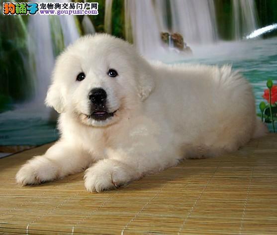 高品质大白熊幼犬、假一赔十纯度第一、签订活体协议