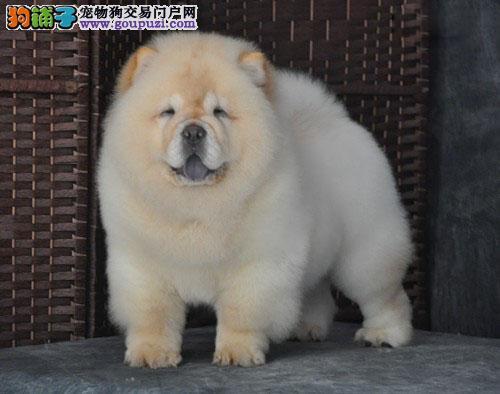 极品肉嘴松狮出售 cku国际血统 幼犬等你来抱呢