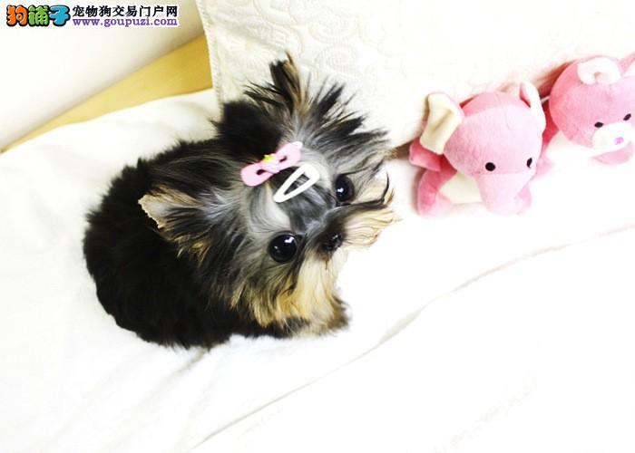 权威机构认证犬舍 专业培育约克夏幼犬金牌店铺有保障