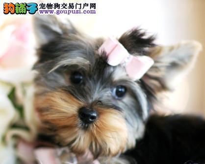 南京大型犬舍低价热卖极品约克夏三针疫苗齐全
