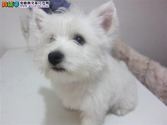 100%纯种健康的济南西高地出售微信看狗真实照片包纯