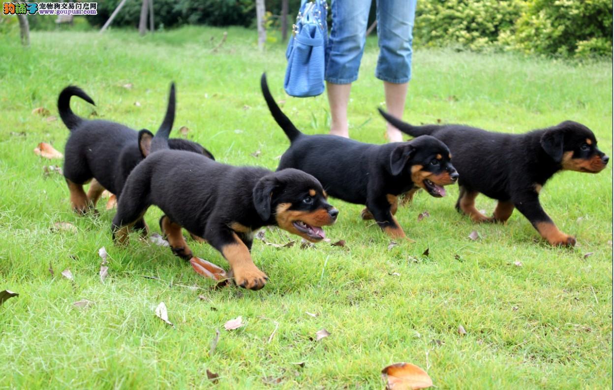 出售纯种罗威纳幼犬 健康保证