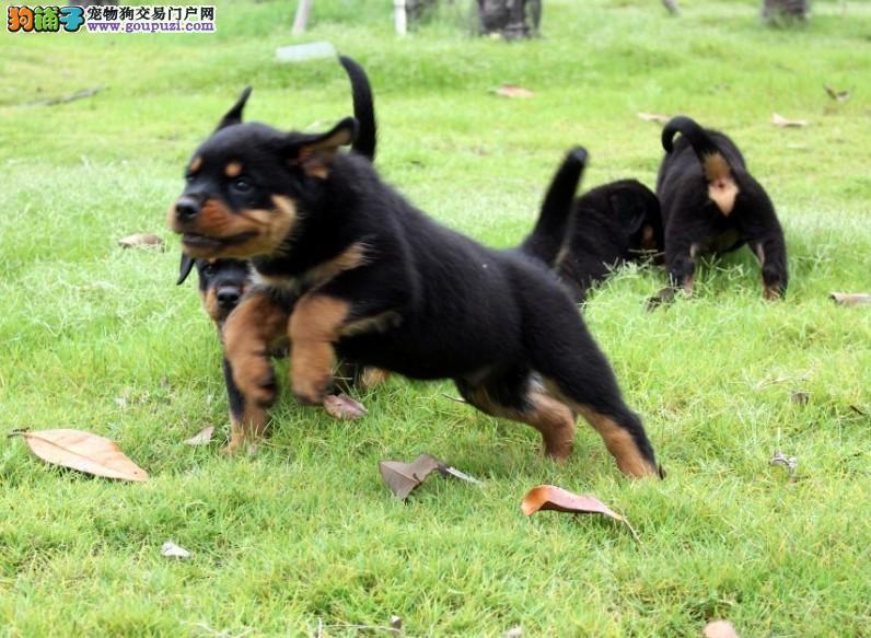 鸿福犬业出售纯种罗威纳犬可上门挑选