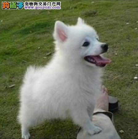 质量保证,家养式养殖出售极品银狐尖嘴犬。上门选购