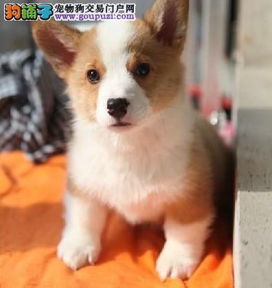 赛级柯基幼犬、一宠一证视频挑选、提供养狗指导