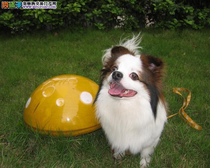 杭州出售可爱美丽蝴蝶犬图片 价格