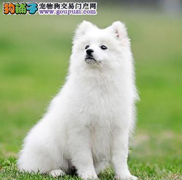 CKU认证精品银狐犬疫苗驱虫均已做完纯种健康