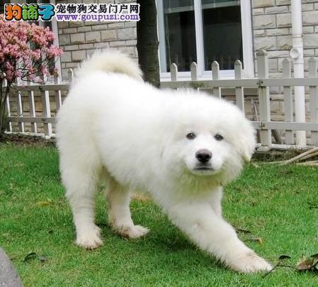 基地特供纯种大白熊犬 大白熊幼犬 保纯种和健康