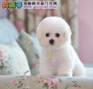 可爱雪娃娃的比熊幼崽待售中.宠物级赛级