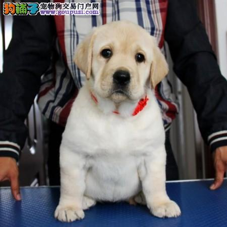 拉布拉多犬价格|拉布拉多价格|纯种拉布犬多...
