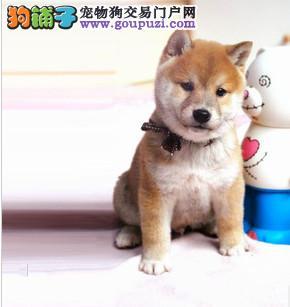 CKU认证犬舍出售高品质柴犬质保协议疫苗驱虫齐全