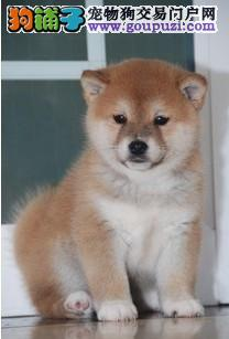 CKU犬舍认证武汉出售纯种柴犬CKU认证绝对信誉保障