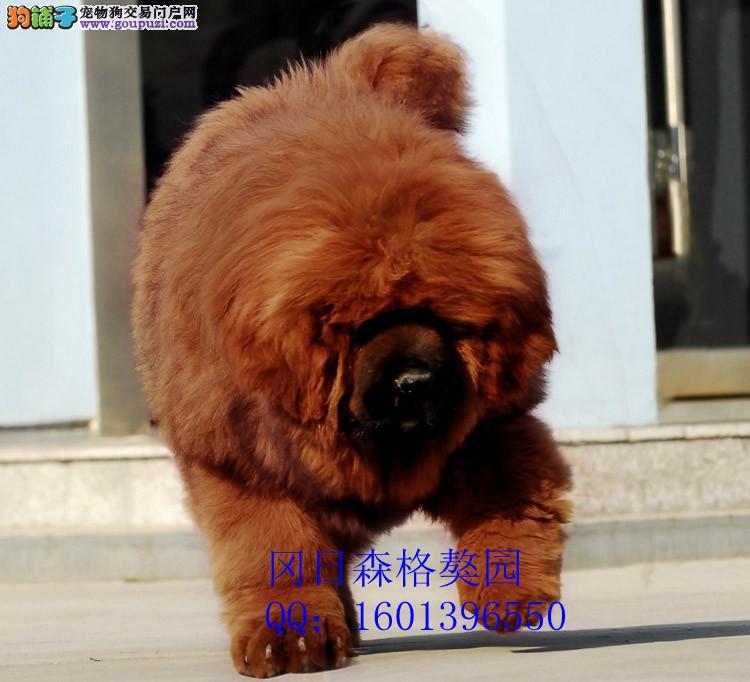 东营/出售高品质红藏獒 纯种大狮子头藏獒 保证健康[两个月公母全有]