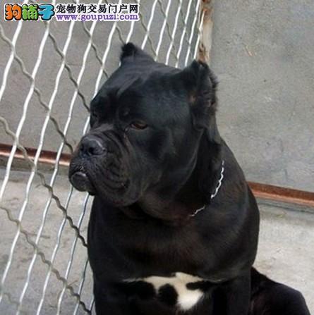 卡斯罗犬找新家,真实照片视频挑选,三年质保协议