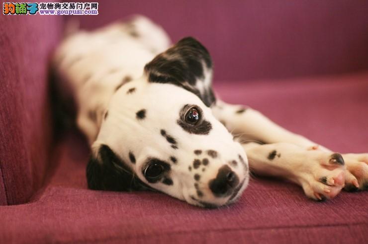 百分百健康纯种斑点狗北京热卖中最优秀的售后
