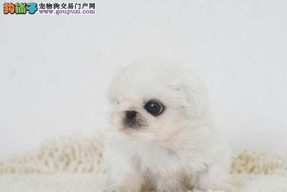 闸北浦东最大宠物狗养殖场出售古老犬种京巴幼犬