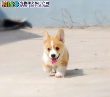 江沪地区最大犬舍长期出售三色柯基宝宝健康质保。