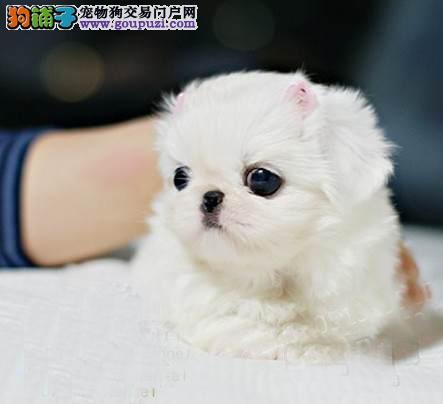 冠军犬后代赛级高品质京巴幼犬免疫驱虫齐全健康可送货