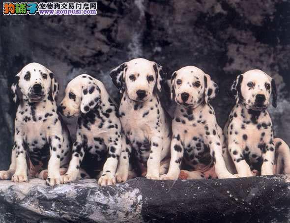 高品质斑点狗宝宝,金牌店铺品质保障,微信咨询看狗