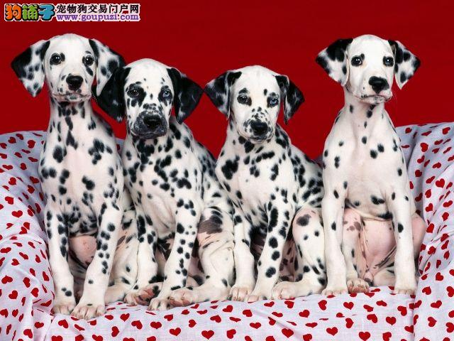 厦门自家养殖纯种斑点狗低价出售品质一流三包终身协议