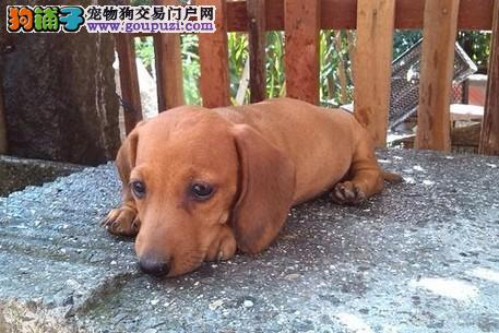 低价出售纯种腊肠狗幼犬迷你腊肠狗腊肠狗宝宝