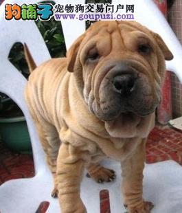 出售极品皱纹沙皮犬宝宝 犬舍直销20只可随便选