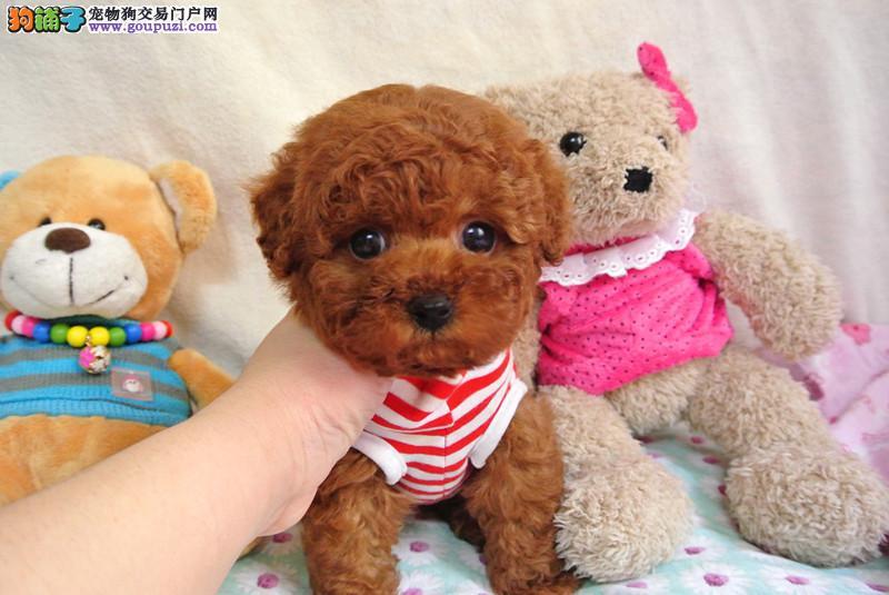 成都唯一一家韩系泰迪繁育中心 正宗玩具茶杯泰迪熊