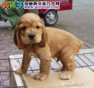 上海出售可卡犬 上海可卡犬转让 上海可卡犬买卖