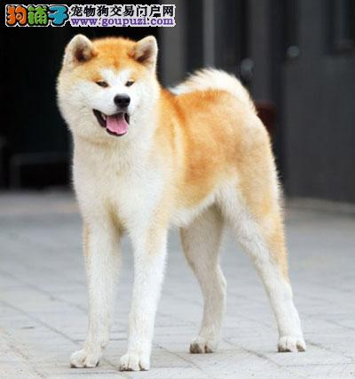 日系纯种高质量秋田犬、口碑好、品种纯、血统更好