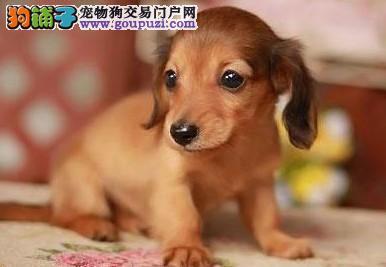 武汉家养赛级腊肠犬宝宝品质纯正最优秀的售后