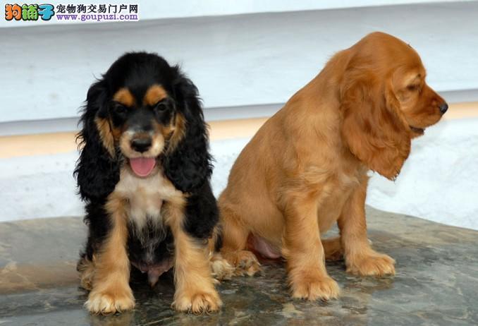 〈杭州可卡犬〉爪紧凑加猫爪步伐优美而不凌乱者可卡犬