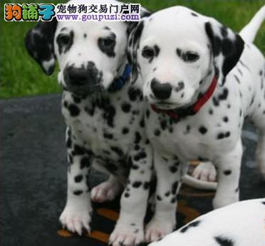 斑点狗基地纯种斑点狗出售包健康