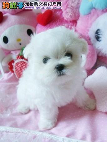 正规犬舍繁衍可爱的马尔济斯宝宝品质保障