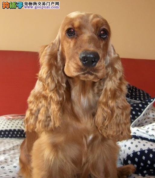 CKU认证犬舍专业繁殖赛级可卡犬三针齐公母全签质保