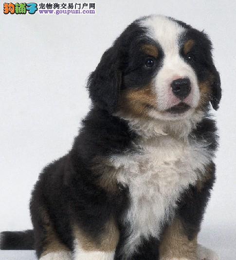 伯恩山犬卡斯罗犬罗威纳犬繁殖出售保纯种保健康保成活