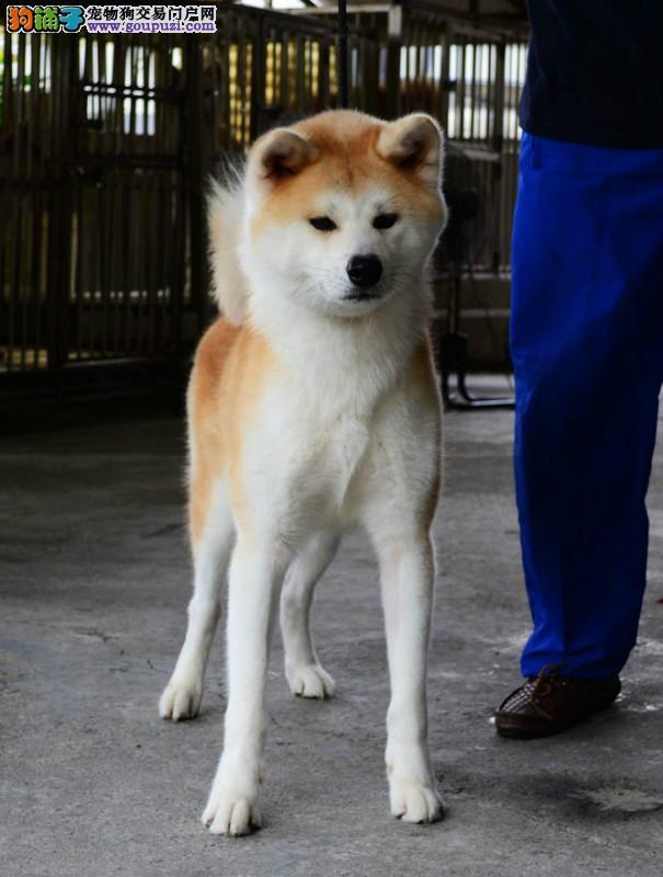 出售日系纯种秋田幼犬保健康北京最大的秋田犬繁殖基地