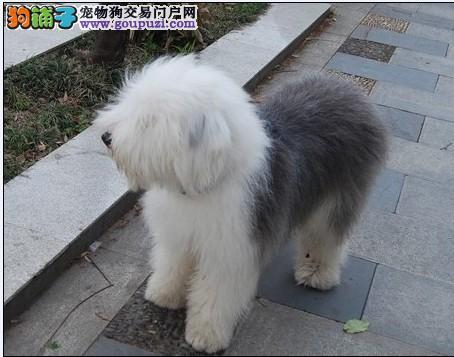 出售纯种古代牧羊犬 白头通背