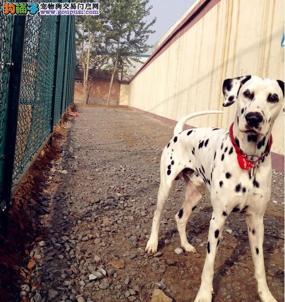 专业的繁殖基地长期出售高品质斑点狗包品质健康