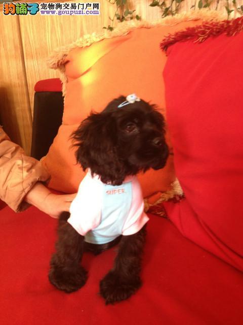 石家庄出售极品可卡幼犬完美品相我们承诺售后三包